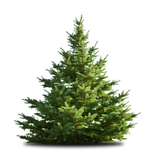 Albero Di Natale Vero.Abete Del Caucaso Piccolo 25 100 Cm Albero Di Natale Vero Alto Adige Val Venosta